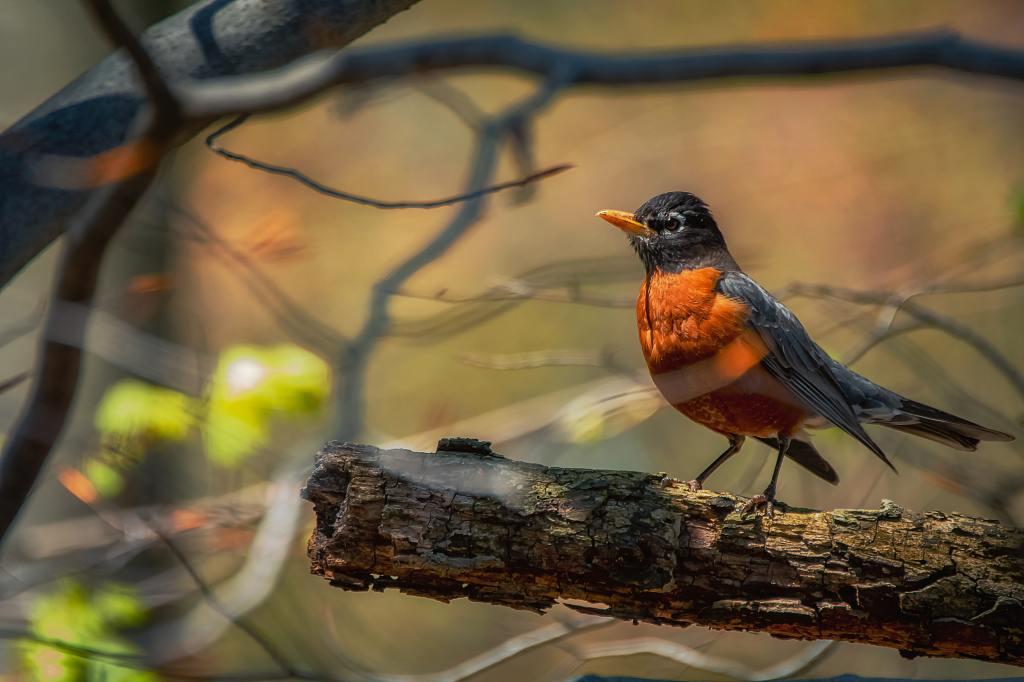 An America Robin perches on a brach
